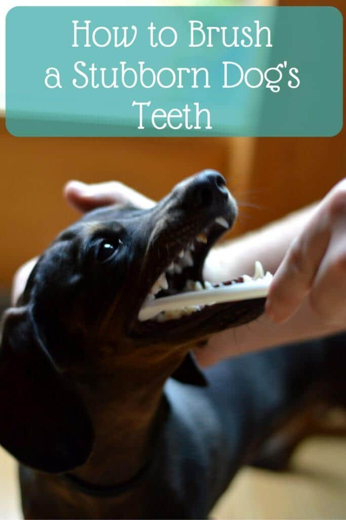 how to brush a stubborn dog's teeth